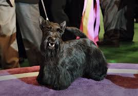 affenpinscher westminster 2015 18 westminster best in show dogs ranked by cuteness updated with