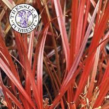 ornamental grass uncinia egmontiana 10 seeds uk seller