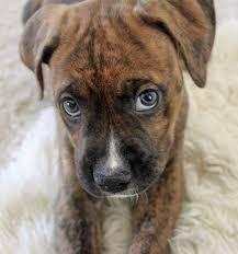 boxer penny the boxer mix puppies daily puppy