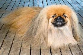 Dog Going Blind What To Do Pekingese Dog Breed Information Pictures Characteristics U0026 Facts