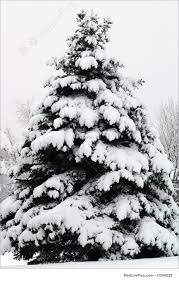 douglas fir tree picture of douglas fir in snow pseudotsuga menziesii