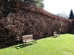native hedging plants uk 500 green beech hedging plants 2 year old 1 2 ft grade 1 hedge