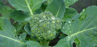 What To Plant In Spring Vegetable Garden by How To Grow Broccoli In Your Vegetable Garden Today U0027s Homeowner