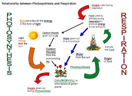 Photosynthesis And Cellular Respiration Worksheet Cellular Respiration Diagram Worksheet Photosynthesis And