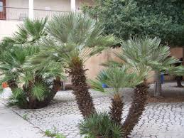 mediterranean fan palm tree plant stand arizona