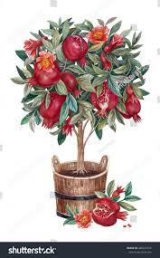 pomegranate tree flowers fruits tub isolated stock illustration