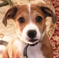 australian shepherd beagle mix buddy the aussie shepherd terrier mix puppies daily puppy