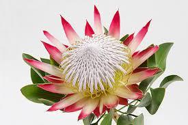 Protea Flower King Protea Madiba Royal Flowers