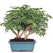 where to buy bonsai trees bonsai tree guide
