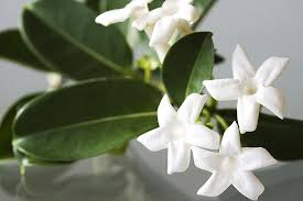 stephanotis flower stephanotis flowers for the garden and vase