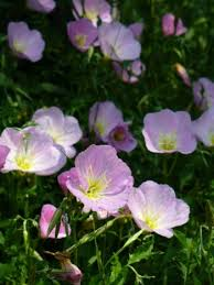 Pink Primrose Flower - pink evening primrose pink ladies pink buttercups showy evening
