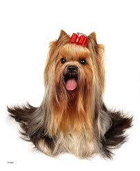yorkie poo haircut cute hairstyles best of cute yorkie hairstyles cute yorkie