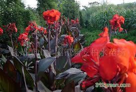 Canna Lilies Aliexpress Com Buy Tropical Bronze Scarlet Canna Flower Flower