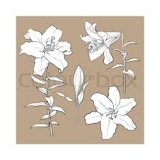 Wedding Flowers Drawing Set Of Hand Drawn White Lily Flowers In Side And Top View Sketch