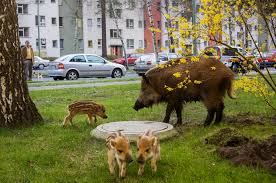 feral cities how animals are going urban like never before
