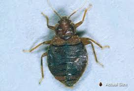 Living With Bed Bugs What Do Bed Bugs Look Like Can You See Them