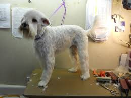 wheaten haircuts wheaten terrier haircut styles hairs picture gallery
