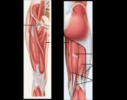 3d Knee Anatomy Muscles Of The Knee Anatomy Knee Joint Part 2 3d Anatomy Tutorial