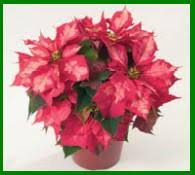 caring for poinsettias the christmas flower