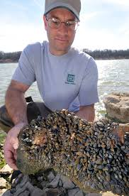 invasive zebra mussels may have finally met their match