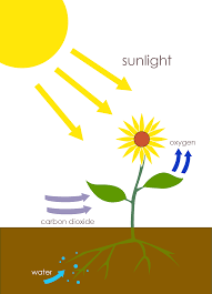 What Is Growth Movement Of A Plant Toward Light Called Photosynthesis Wikipedia