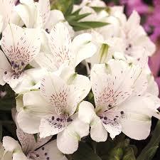 Alstroemeria Alstroemeria Inticancha Magic White Plants From Mr Fothergill U0027s