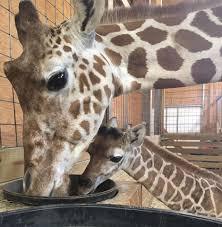 april the giraffe official animal adventure park