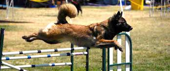 belgian sheepdog agility haute volée belgian tervuren u2013 breeding working line tervuren