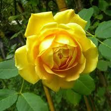 Flowers Information - golden celebration rose flower essence flower essences flower