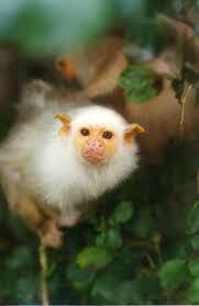 1169 best animals primates u0026 lemurs images on pinterest
