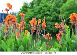 Canna Lily Canna Lily Stock Images Royalty Free Images U0026 Vectors Shutterstock