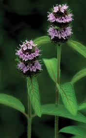 native oklahoma plants hairy wood mint state by state gardening web articles