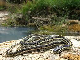 snakes of colorado reptiles and amphibians of colorado
