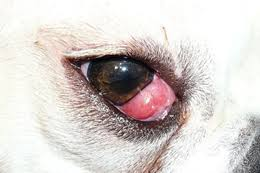 What Causes Dogs To Go Blind Dog Blindness Causes And Prevention