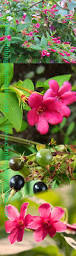 Plants For Pergolas by Climbing Plants Direct