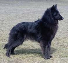 belgian sheepdog breeders in canada ch bergerac flört cgn agns agnsj ag 111 kuublac belgian shepherds