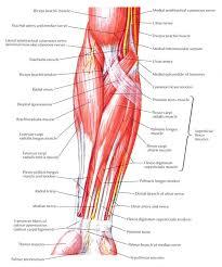 Foot Tendons Anatomy Best 25 Forearm Anatomy Ideas On Pinterest Arm Muscle Anatomy