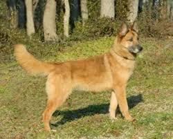 belgian shepherd dog malinois i found lacey on belgian shepherd shepherd dog and dutch