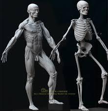 Google Human Anatomy Human Anatomy Model For Artists Google Search Anatomy