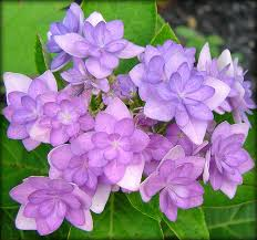 hydrangeas flowers hydrangea flowers arrangements hydrangea wedding flowers