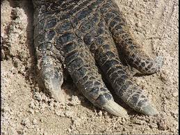 alligator claws alligator florida usa sd stock 583 379 304 framepool
