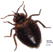 Rug Bugs Do Carpet Beetles Eat Bed Bugs Carpet Vidalondon