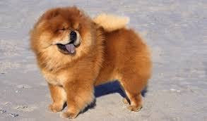 american eskimo dog brown chow chow breed information