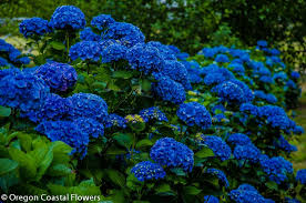 hydrangea flowers big blue hydrangea wedding oregon coastal flowers