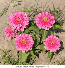 Zinnia Flowers Picture Of Pink Zinnia Flowers Family Compositae Csp18144174