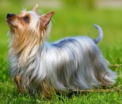 silky terrier with haircut silky terriers what s good about em what s bad about em