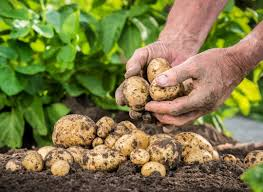 chicken manure vegetable garden fertiliser requirement of potatoes potato fertiliser program
