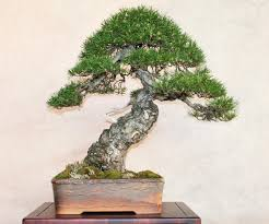scots scotch bonsai bark