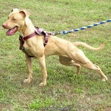 l american pitbull terrier a p b t american pitbull terrier