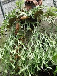 staghorn ferns u2026 pinteres u2026